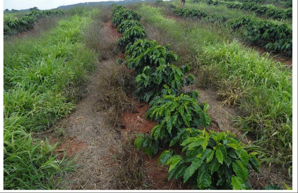 Efeito de controle do mato na linha de cafeeiros jovens, com o uso de combinação de herbicidas de pós-emergência(Select e Clorimuron) mais de pré (Goal) sobre mato normal, sendo melhores resultados em mato mais novo.